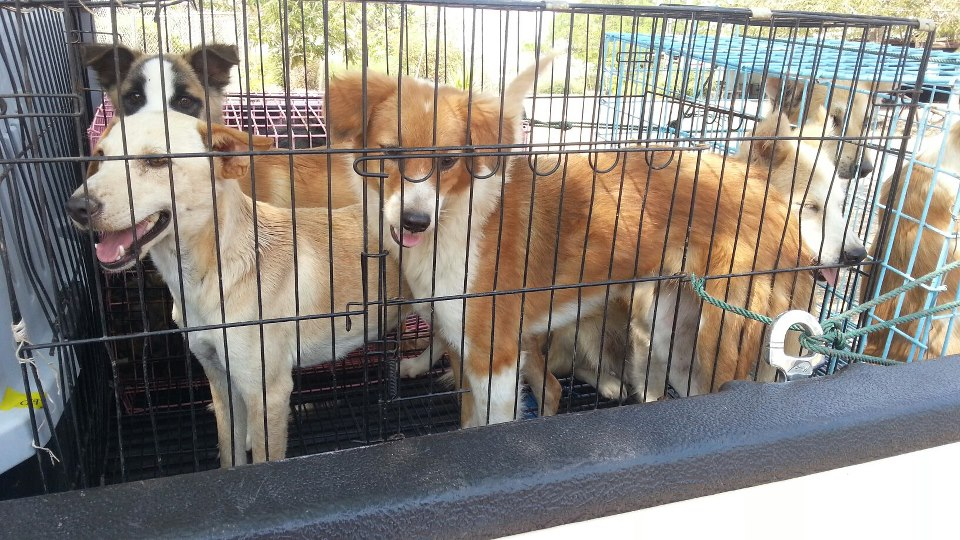 ...and these angels secure transport to Bangkok, for veterinary care, bathing, grooming, and quarantine...