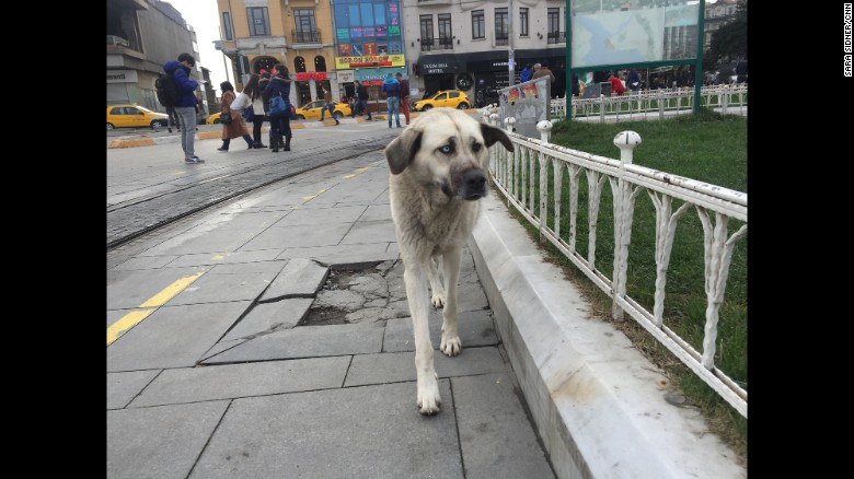 Istanbul street dogs living in the US