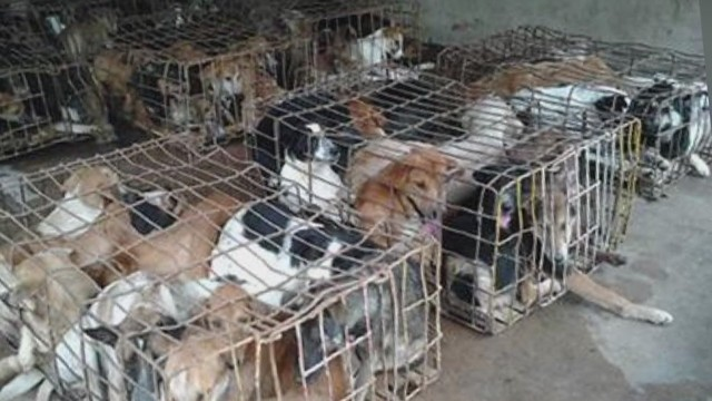 Headline News!  Thailand Dog meat trade survivors finding homes in Chicago.